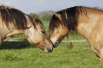 Tenderness between two Horses Henson France