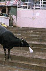 Holly cow eating a plastic bag Vârânaçî India