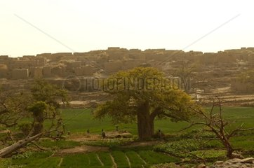 Onion cultivation and baobabs close to a Dogon village Mali
