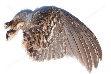 Hazel grouse feathers on white background