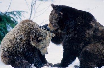 Femelle Ours brun et son ourson PN Bayerischer Wald