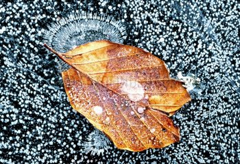 Leaf of Common beech taken in the ice France