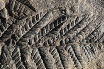 Fern fossil from the carboniferous