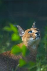 Portrait of attentive Caracal - Zoo Berlin Germany