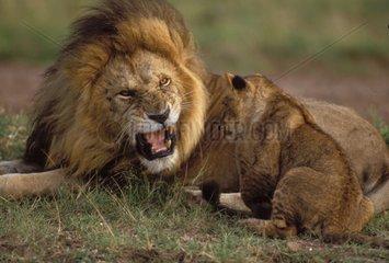 Lion rugissant et jeune Afrique