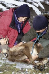 Medical examination of a pyrenean chamois Ariege France