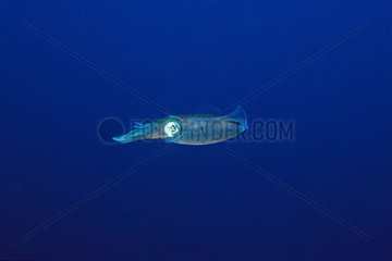 Reef squid swimming in the blue of the Caribbean Sea