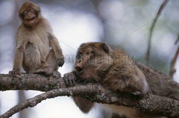 Jeune Magot cherchant une alliance protectrice près du mâle