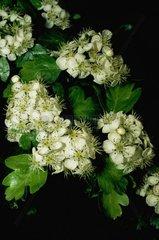 Aubépine monogyne en fleurs dans la province de Gérone