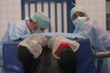 Veterinarian surgery on horse laid down in surgical unit