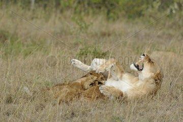 Roaring Lion and Cubs sucking Masai Mara Kenya