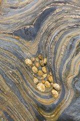 Limpets on rock at low tide - Alentejo Portugal