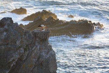 White stork on rocky shore - Alentejo Portugal