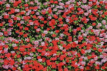 Geraniums flowery facade - Alsace France