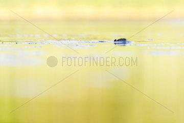 Coypus (Myocastor coypus) swimming  Dombes  France