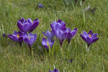 Flowers of Crocus Remenbrance France