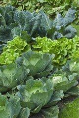 Choux et Salades au jardin potager du Château de Cormatin