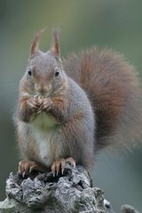 Eurasian red Squirrel eating a seed