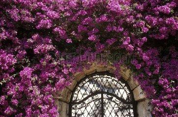 Bougainvilliée entourant une fenêtre dans un jardin exotique