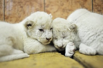 White lion cubs in the Belgrade zoo in Serbia