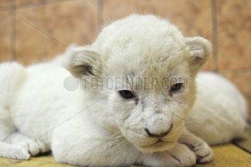 White lion cub in the Belgrade zoo in Serbia