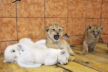 White and yellow Lion cubs in the Belgrade zoo in Serbia