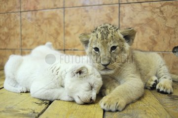 White and yellow Lion cubs lying Zoo Belgrade Serbia
