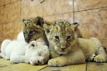 White and yellow Lion cubs in the Zoo Belgrade Serbia