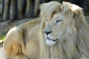 Portrait of a White Lion in Belgrade Zoo in Serbia