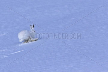 Mountain Hare (Lepus timidus) running in white winter coat in the Alps  Valais  Switzerland.