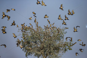 Rosy starling (Pastor roseus)  group on a tree  Bikaner  Rajasthan  India