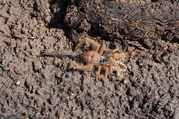 Sun spider (Galeodes sp)  Dallol desert  Ethiopia