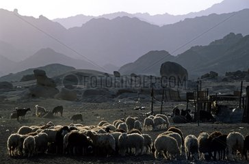 Flock of sheep in a Bedouin camp Sinai Egypt