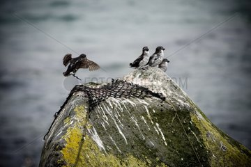 Least Auklet and capture system on a rock in Alaska