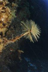 European fan worm in reef - French Riviera France