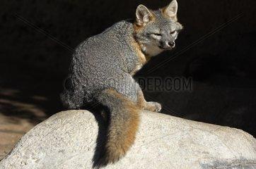 Gray Fox sat on a rock watching North America