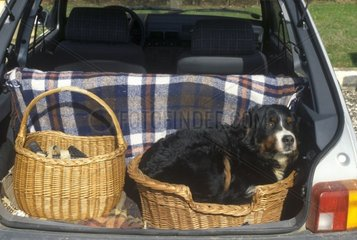 Bouvier bernois couché dans le coffre ouvert d'une voiture
