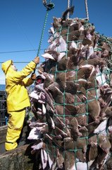 Fisherman aboard dragger hauls in net full of Fishes - USA
