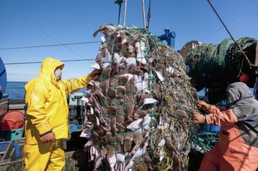 Fishermen aboard dragger hauls in net full of Fishes - USA