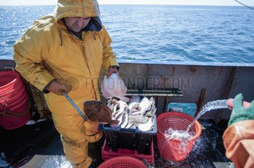 Washing basket full of Yellowtail Flounder on dragger deck
