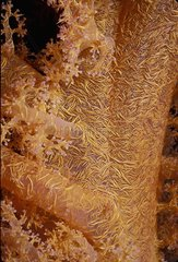 Branches of Prickly Alcyonarian Coral - Red Sea