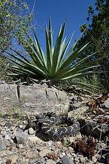 Arizona black rattlesnake in desert - Arizona USA