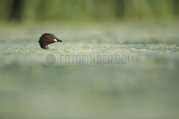 Little Grebe immersed outgoing head of water Jura