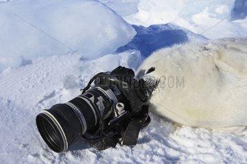 Whitecoat and camera on the ice Quebec Canada