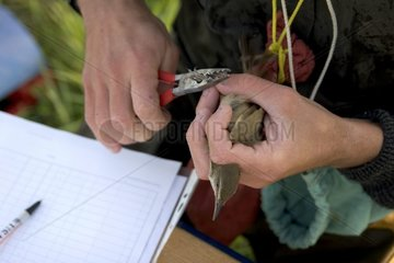 Tagging of Great Reed Warbler Vaucluse France