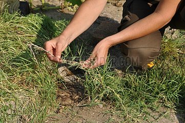 Weeding of common couch in a garden