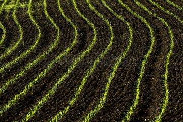 Corn field in spring - France