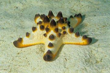 Horned Starfish on sandy bottom - Sipadan Malaisie