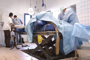 Surgical operation of the pelvic member of a horse France