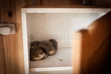 Dormice hibernating in the closet of a fishing lodge-France